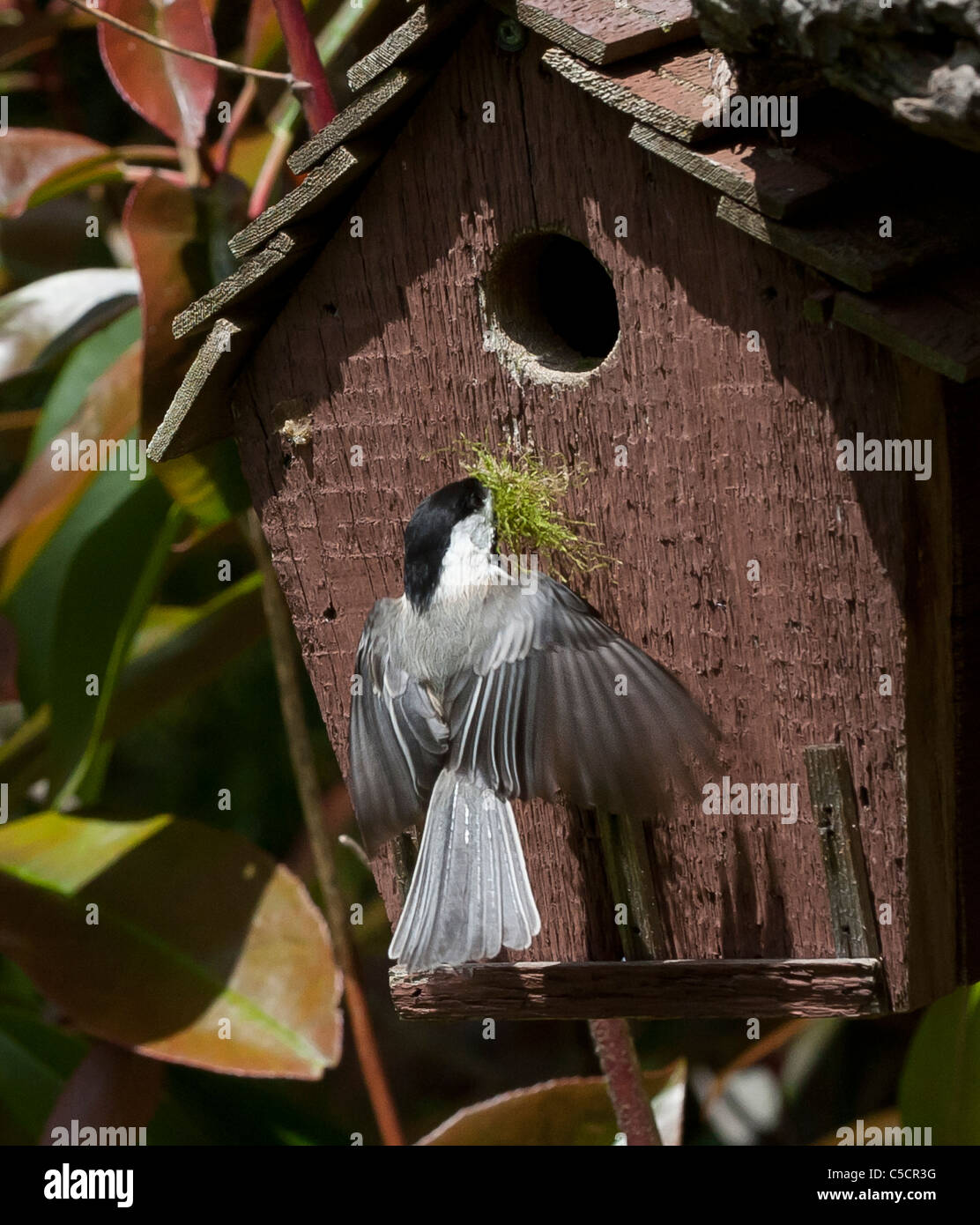 blackcap chickadee flying toward red birdhouse carrying nest building materials - Stock Image