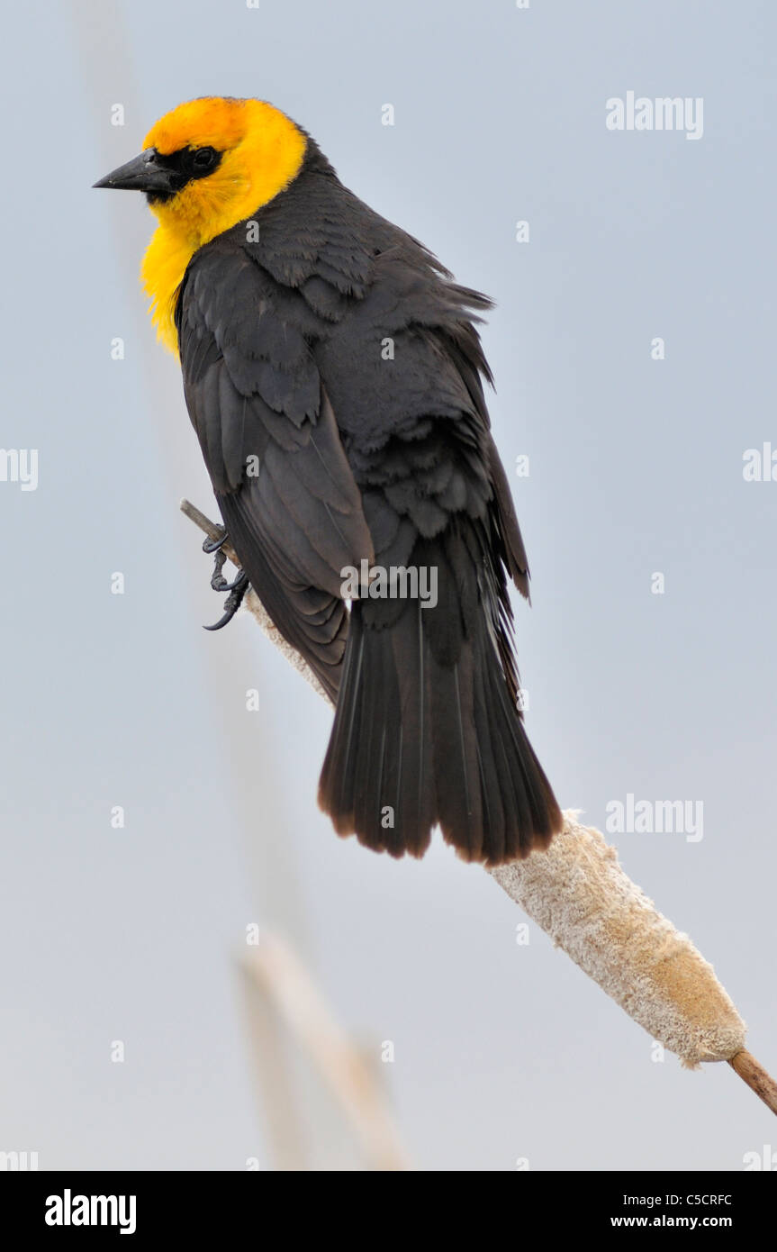 Yellow-headed Blackbird perches atop a cattail in Idaho 's Camas National Wildlife Refuge. - Stock Image
