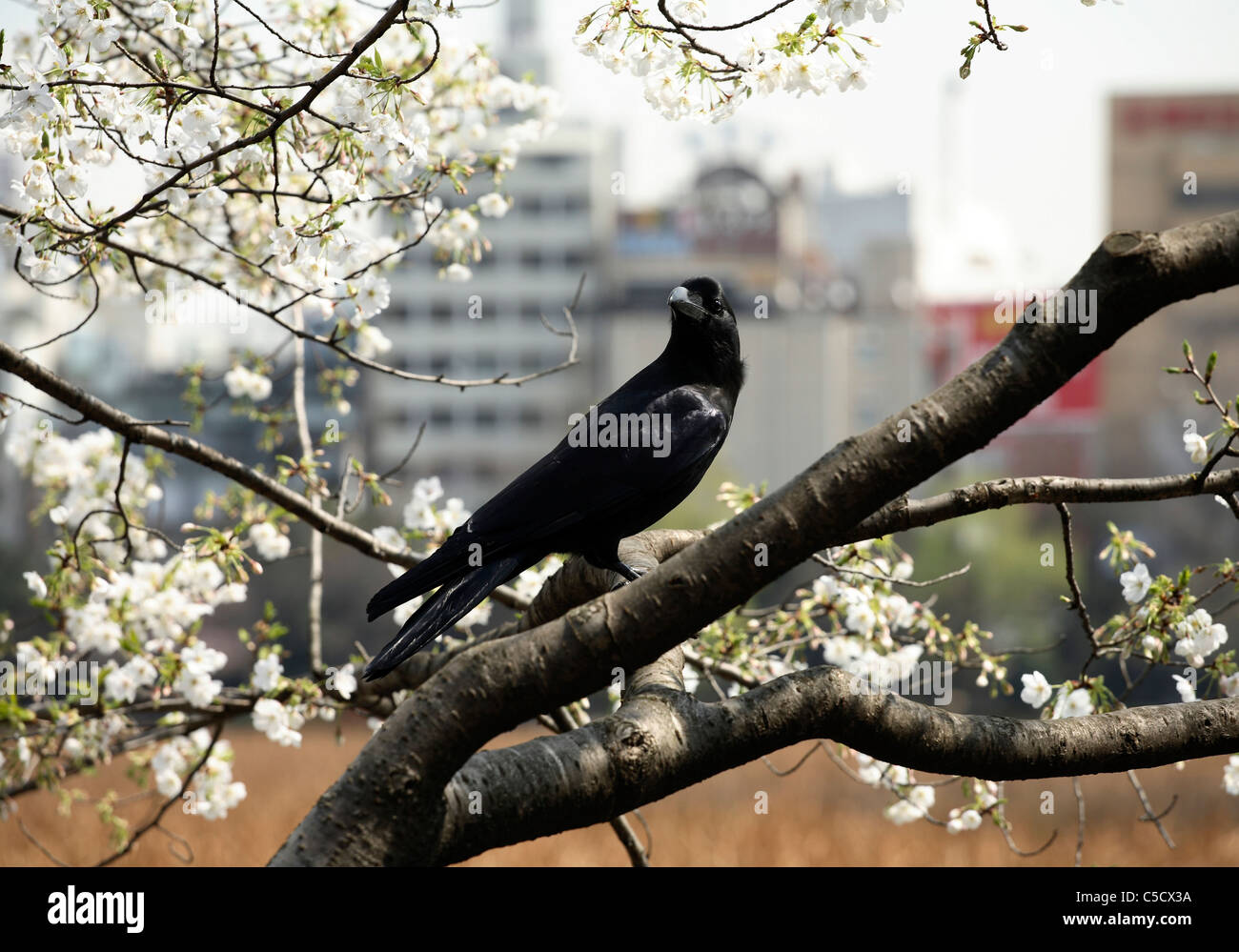 Side view of a black raven on a flowering tree against blurred background - Stock Image