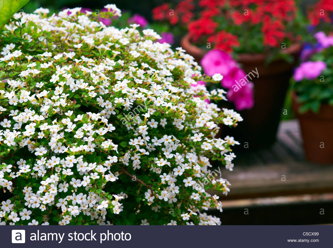 Trailing plant stock photos trailing plant stock images alamy bacopa snowflake trailing plant of small white flowers display stock image mightylinksfo