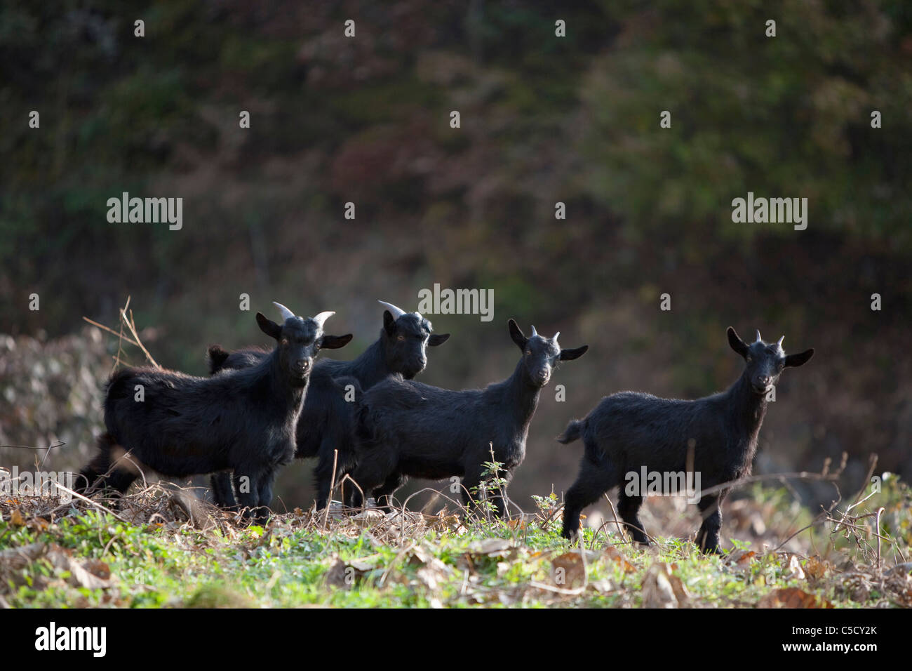 herd of black goat Stock Photo