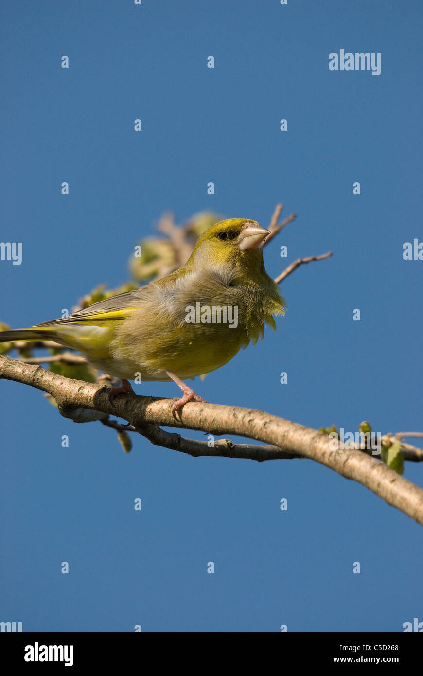 Greenfinch against a blue background. Feathers ruffled by the wind - Stock Image
