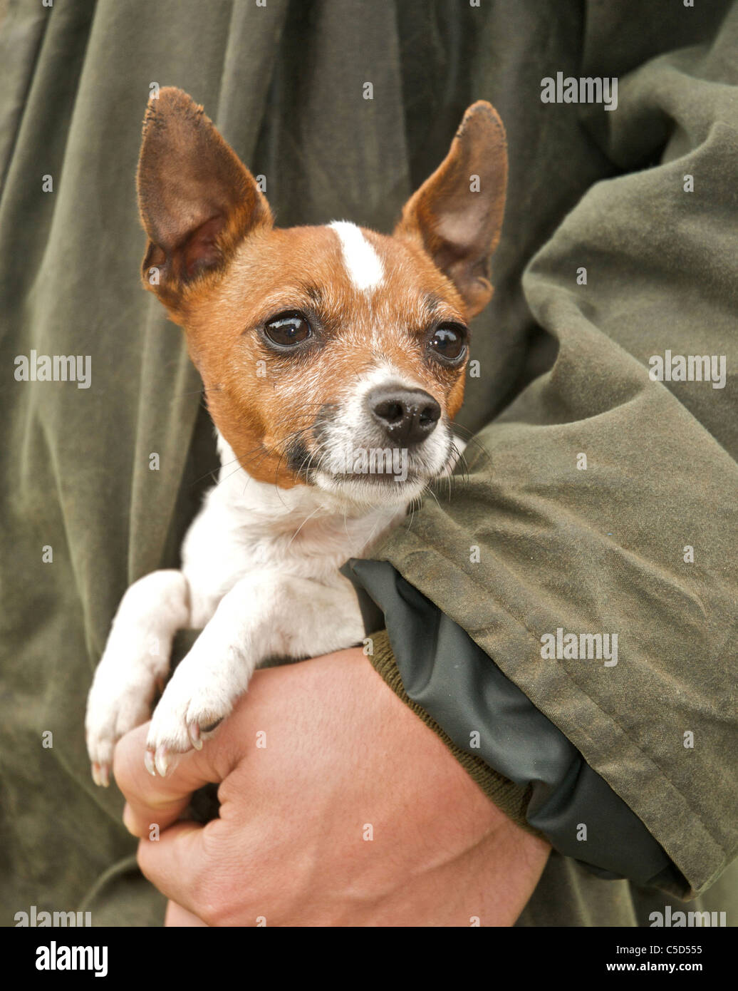 The small Jack Russell dog is often described as 'pocket sized' - Stock Image