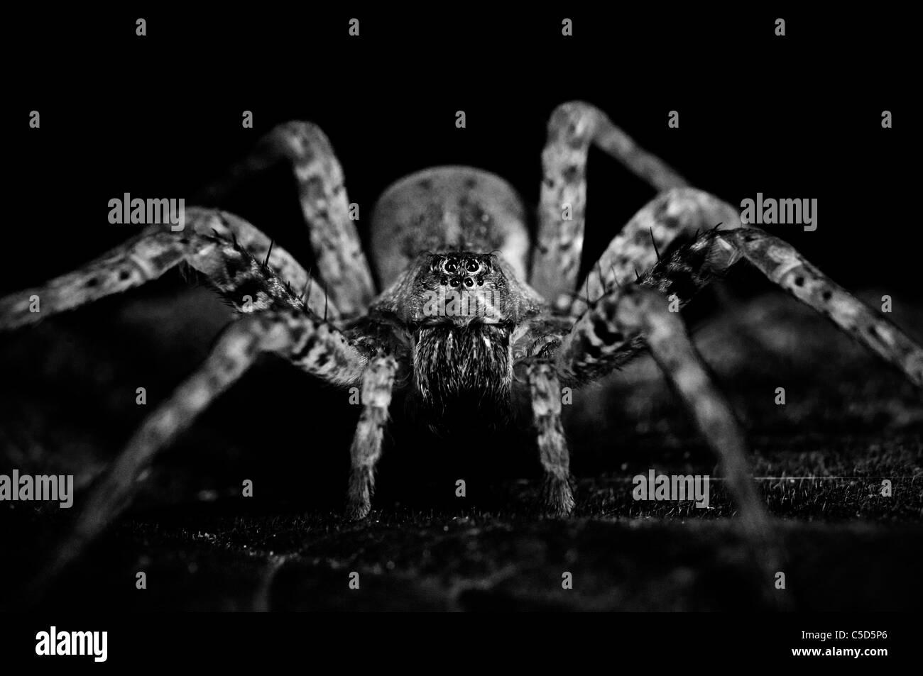 Spider portrait - Stock Image
