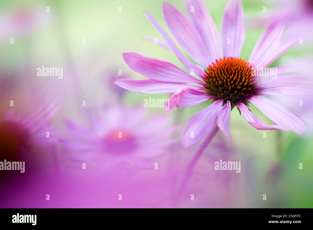 Close-up image of Echinacea purpurea (Eastern purple coneflowers or Purple coneflower) pink summer flowers, taken - Stock Image