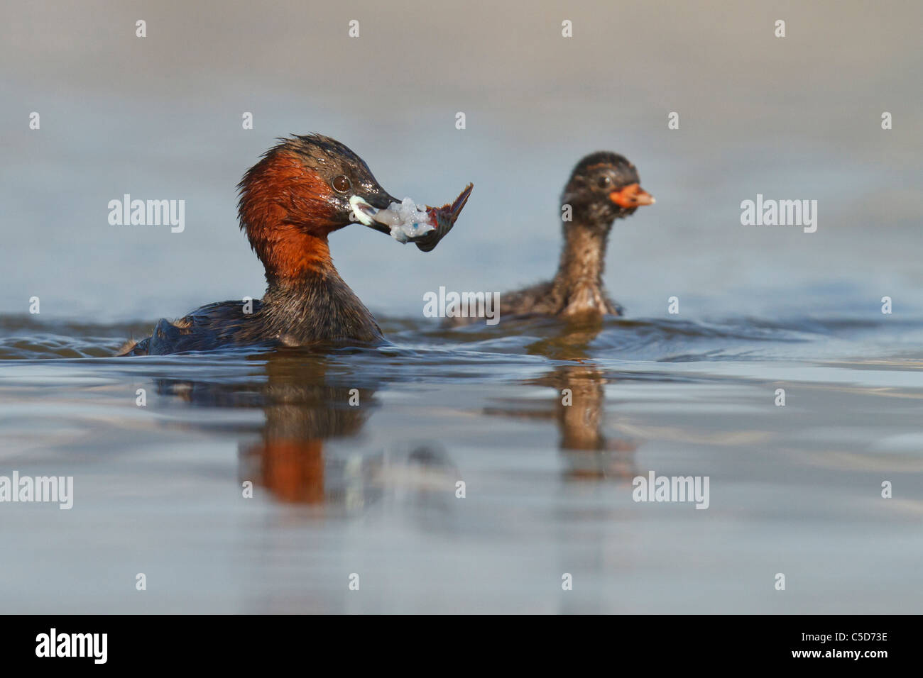 Little grebe (tachybaptus ruficollis) adult and chick. Spain. - Stock Image