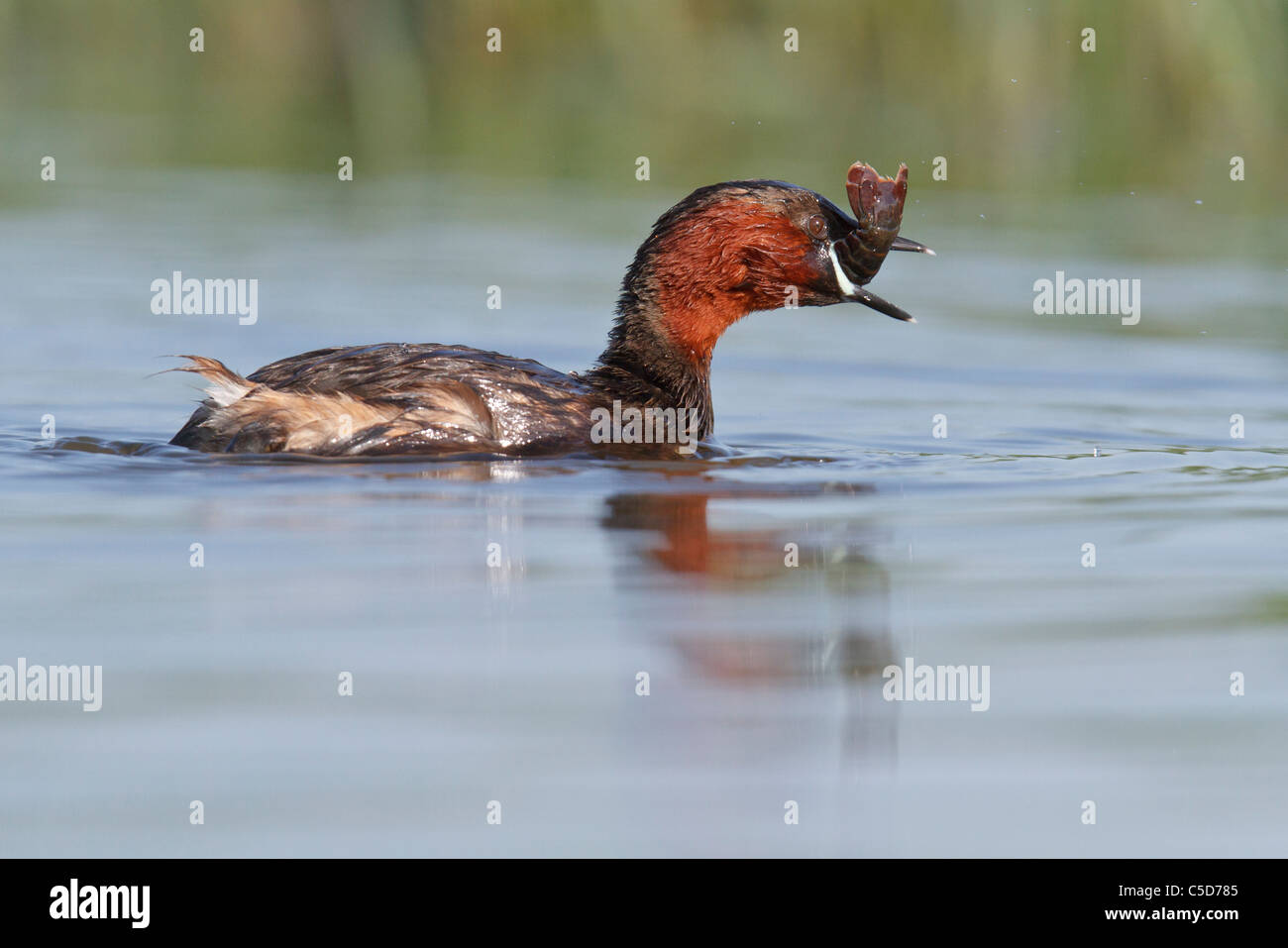 Little grebe (tachybaptus ruficollis) adult eating. Spain. - Stock Image