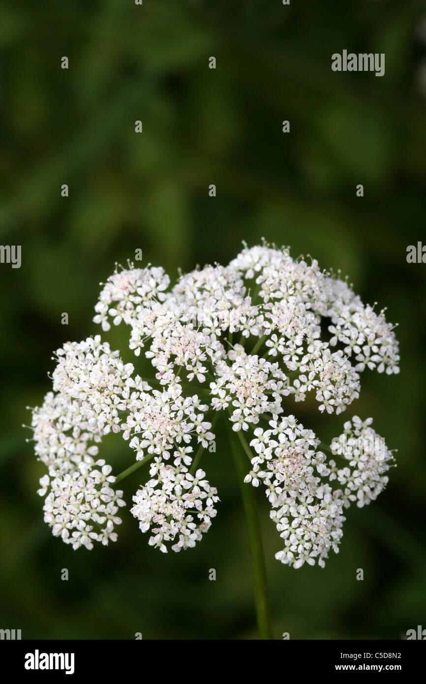 Umbellifer Flowerhead, Wales, UK - Stock Image