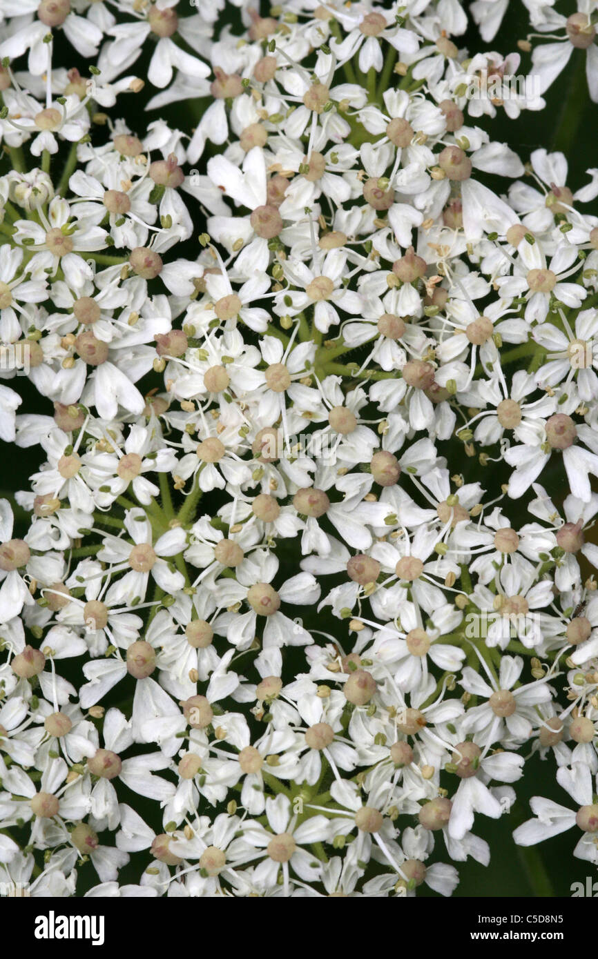 Close-up Of An Umbellifer Flowerhead - Stock Image