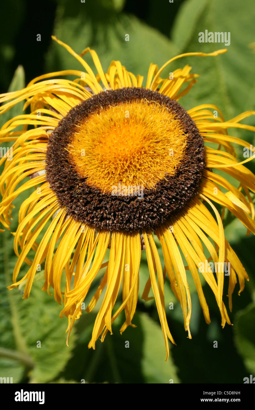 Giant Fleabane Inula magnifica Flowerhead Going To Seed - Stock Image