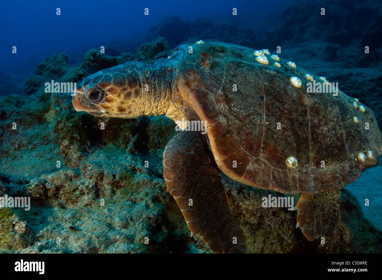 Loggerhead turtle, Caretta caretta, an endangered species in Kas Antalya Turkey. - Stock Image