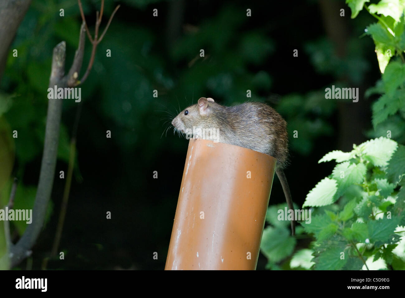 Brown Rat Rattus norvegicus emerging from the top of a drainpipe - Stock Image