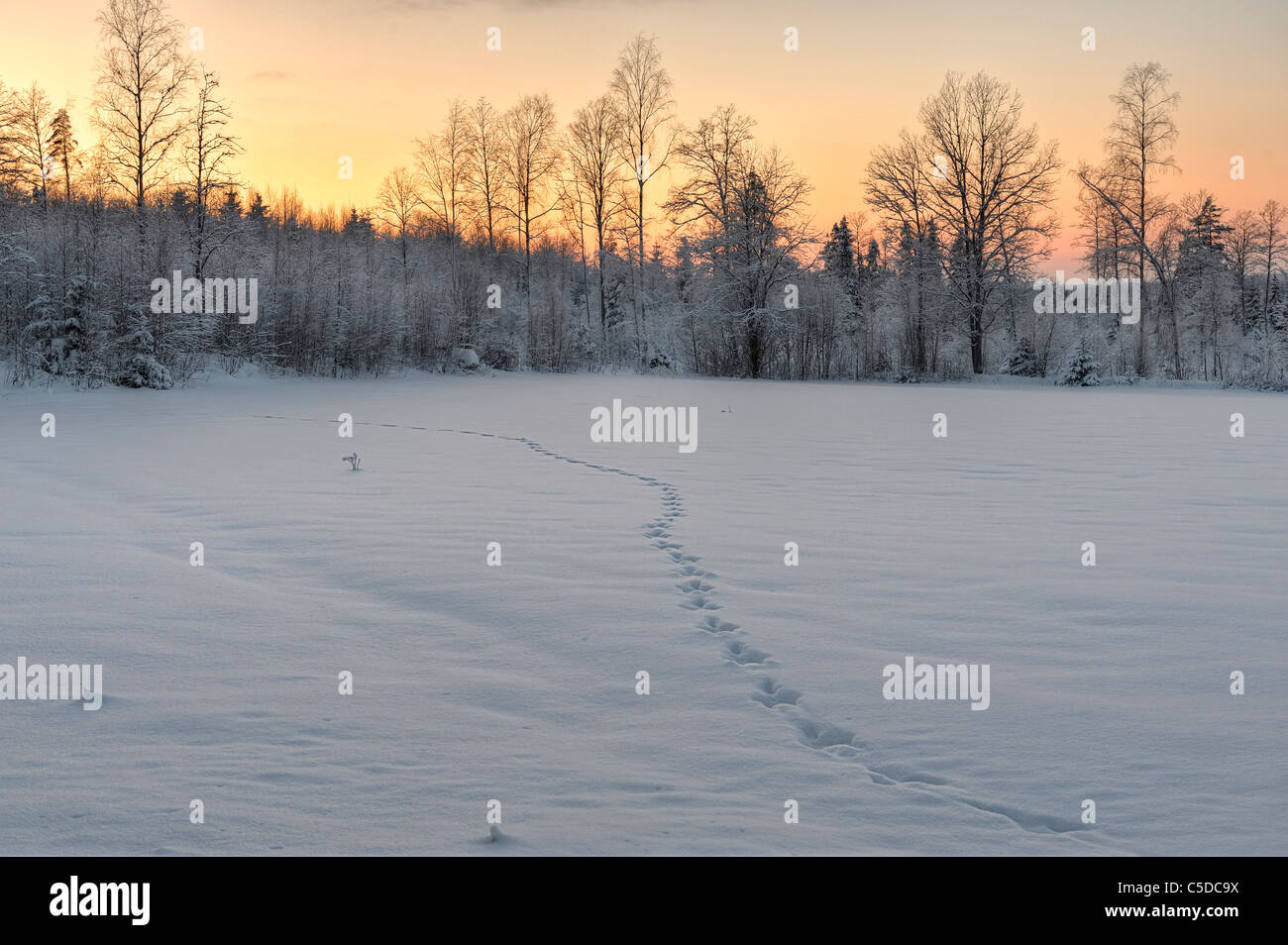 Scenic and peaceful winter view of animal tracks in the snow against frosted trees and sky at dusk Stock Photo