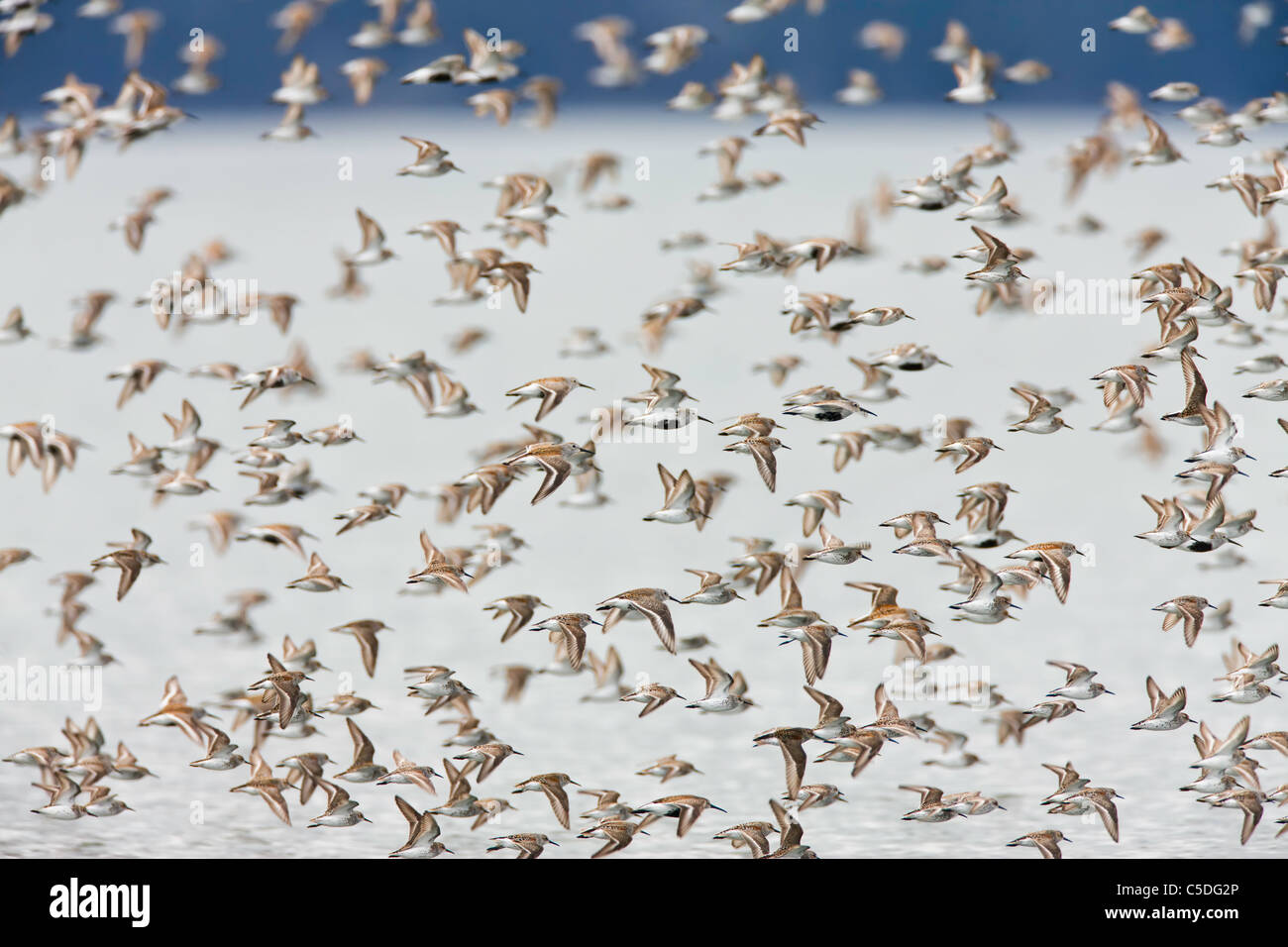 Western Sandpipers and Dunlin  swarm over Hartney Bay near Cordova, Alaska to feed during the spring migration to - Stock Image