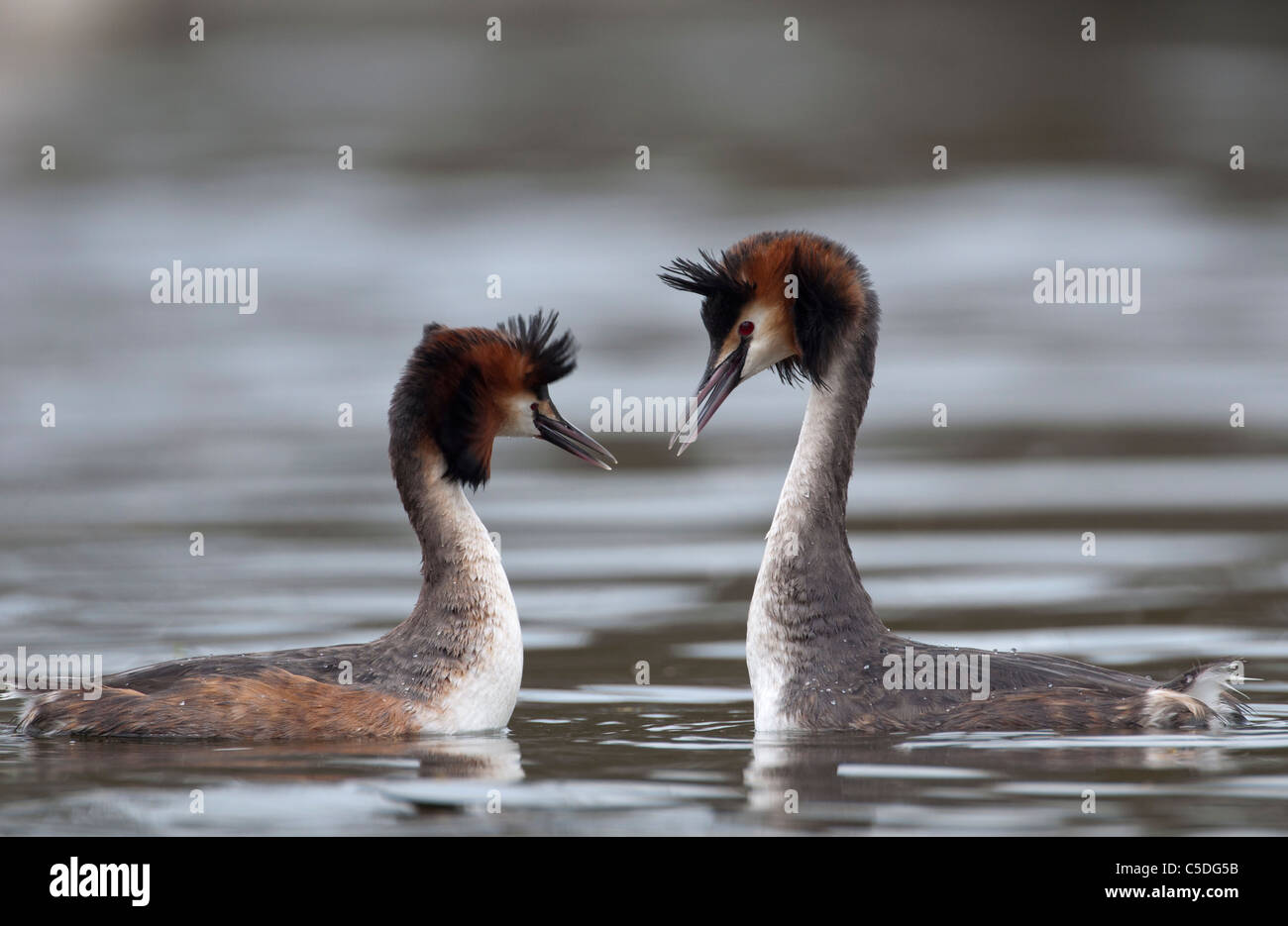 A pair of Great Crested Grebes displaying the mating dance - Stock Image