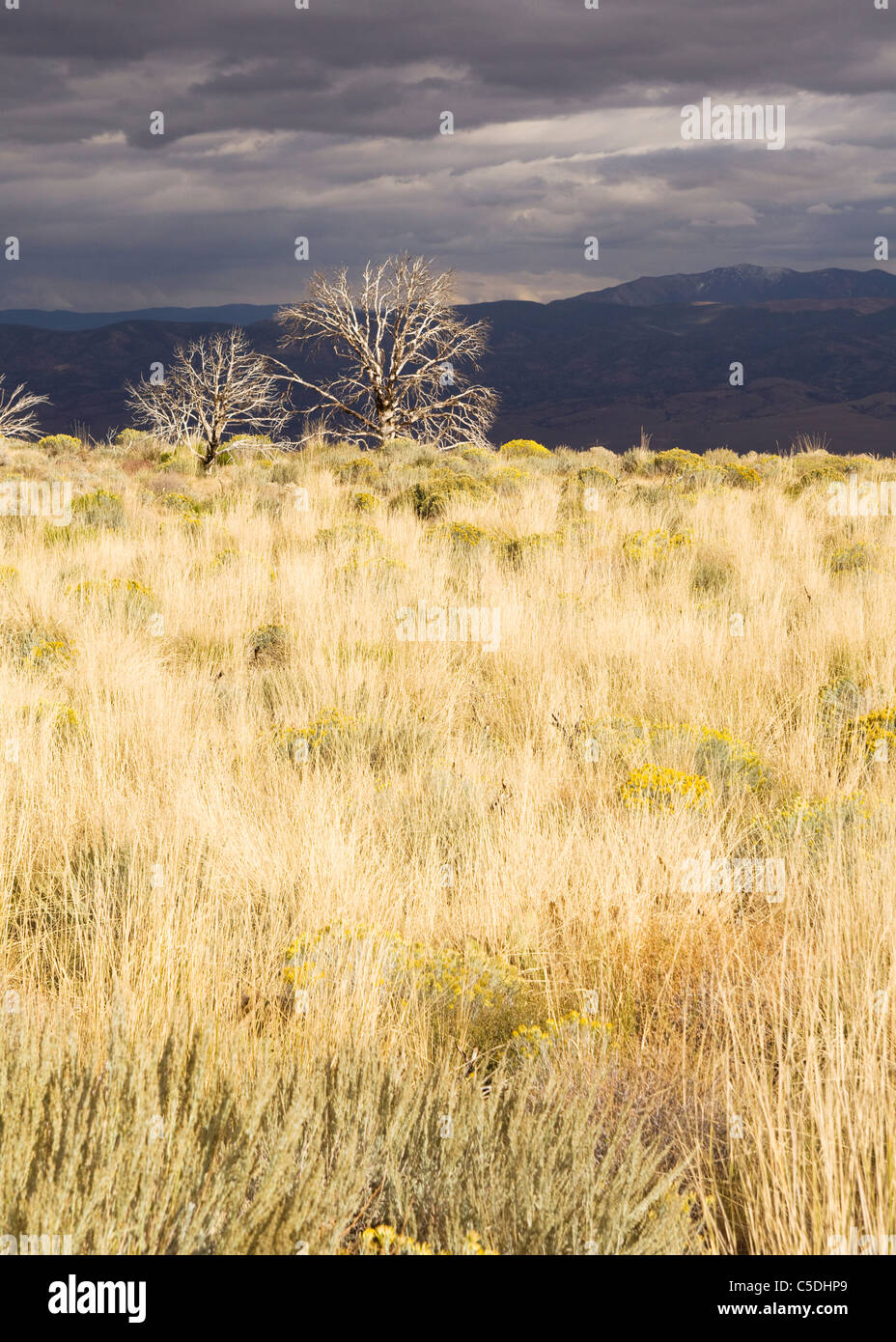 Leafless trees in dry grass field of the California high country - Stock Image
