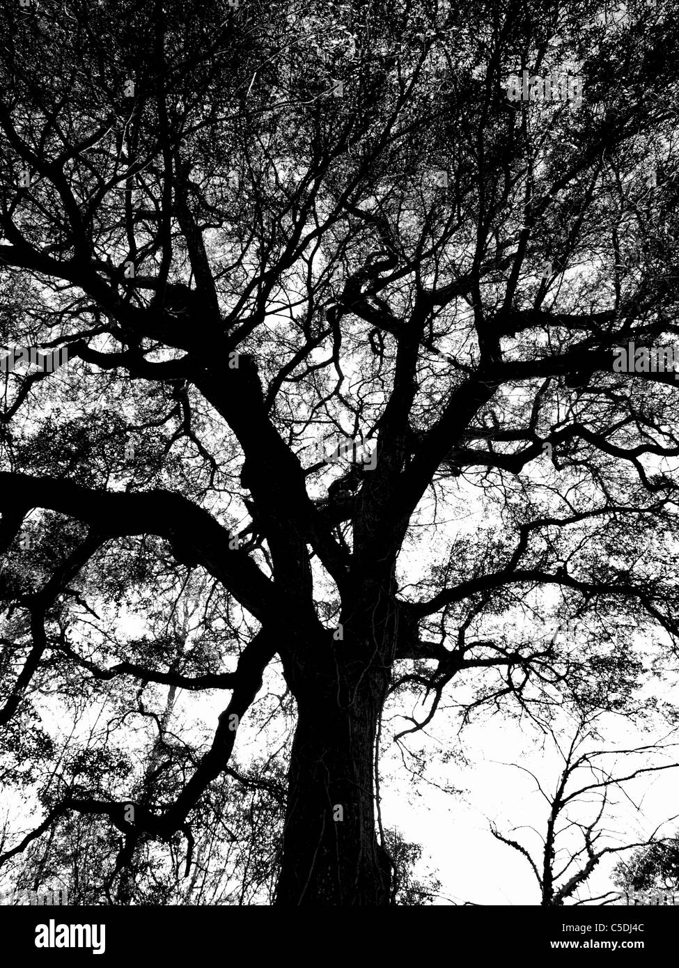 tree trees forest sky view bark trunk leaves silhouette contrast limbs oak pine - Stock Image