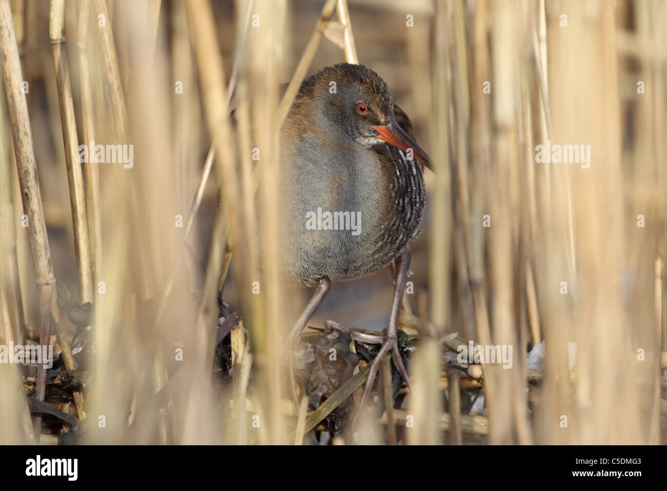 Water Rail, Rallus Aquaticus peering out from Ice-bound reedbed in Perthshire - Stock Image