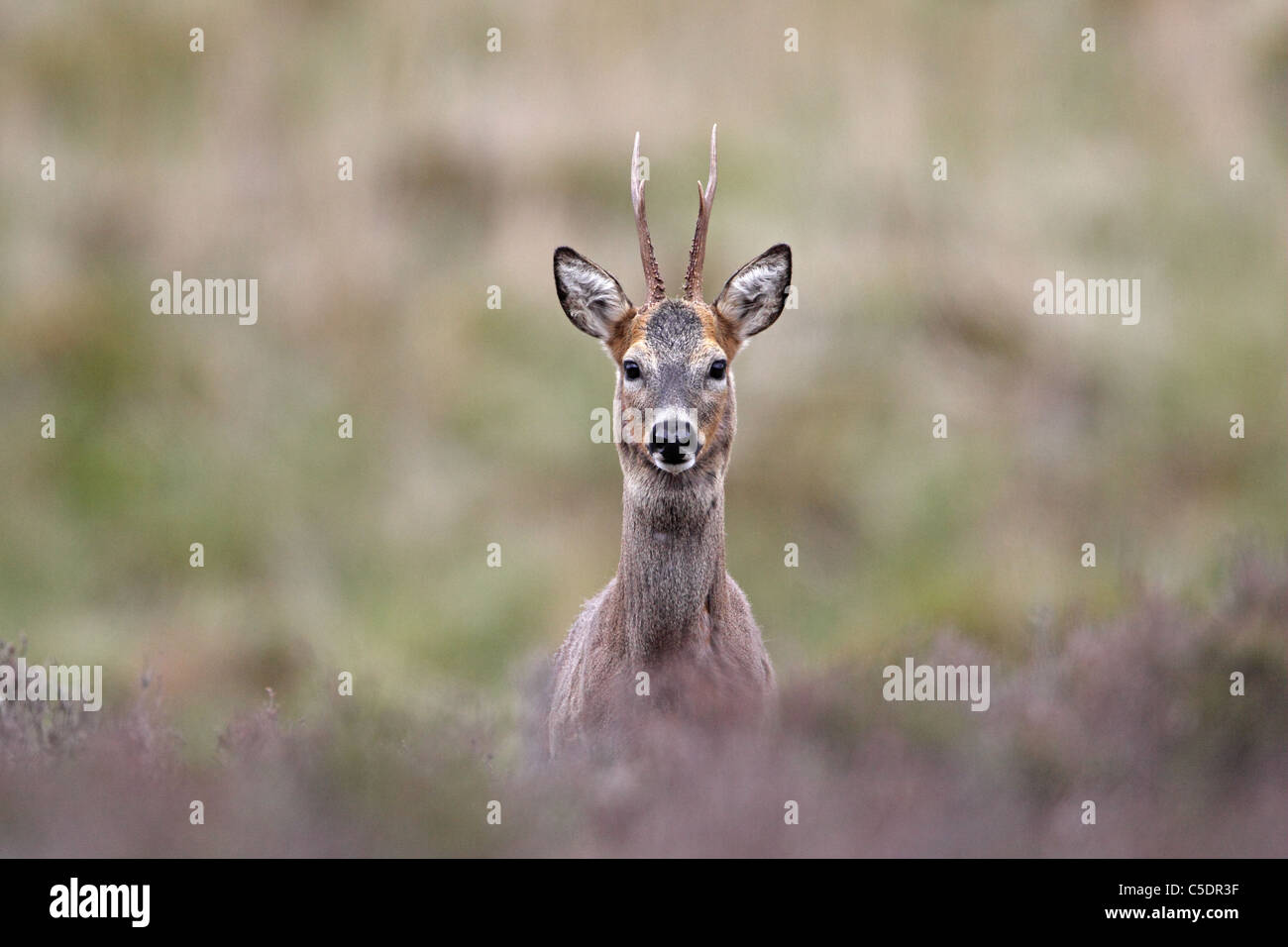 Roe Deer (Roebuck), Capreolus capreolus, staring at photographer - Stock Image