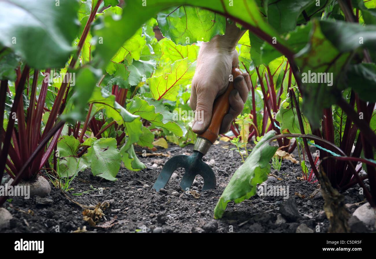 GARDENER  WITH HAND FORK GARDENING DIGGING AMONGST BEETROOT  VEGETABLE PLANTS IN BRITISH GARDEN UK - Stock Image