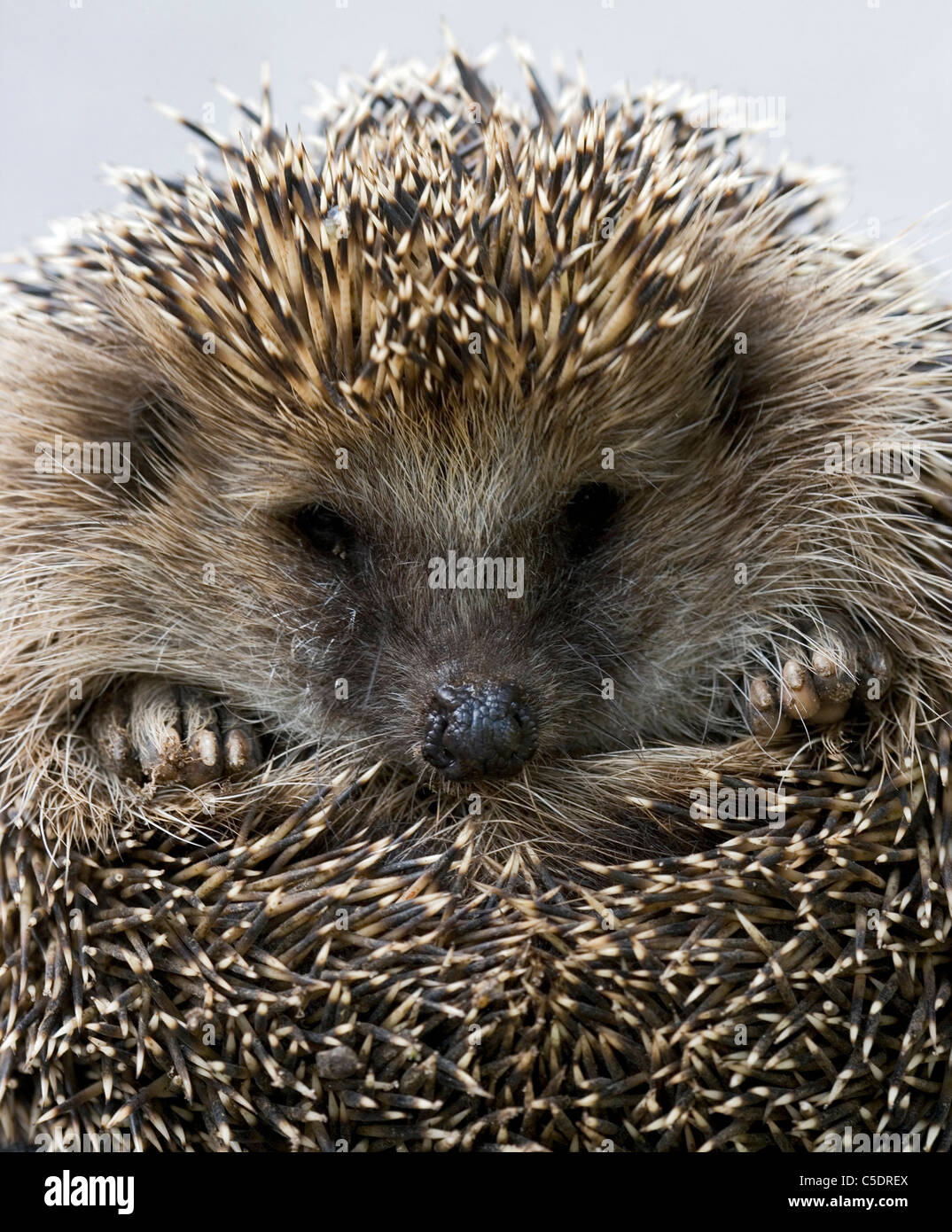 Extreme close-up of a hedgehog - Stock Image
