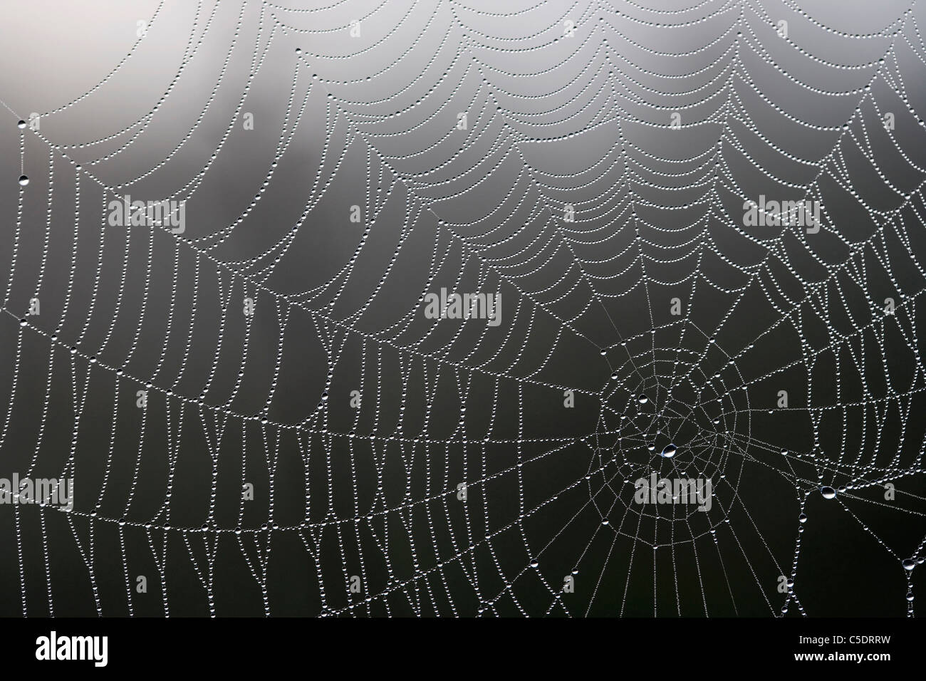 Close-up of dewdrops on spider's web against blurred background - Stock Image