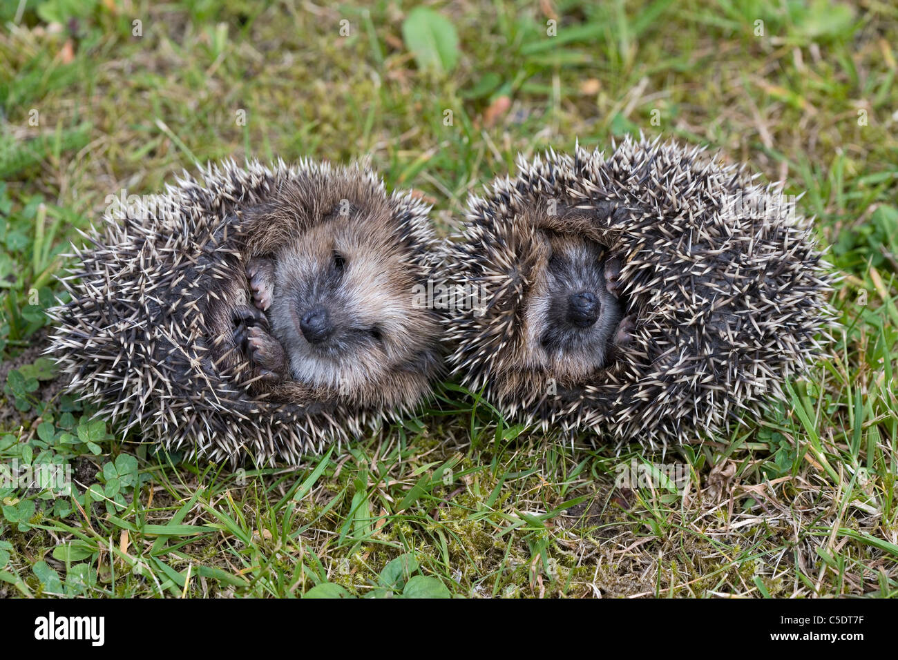 Close-up of two hedgehogs on the grass - Stock Image