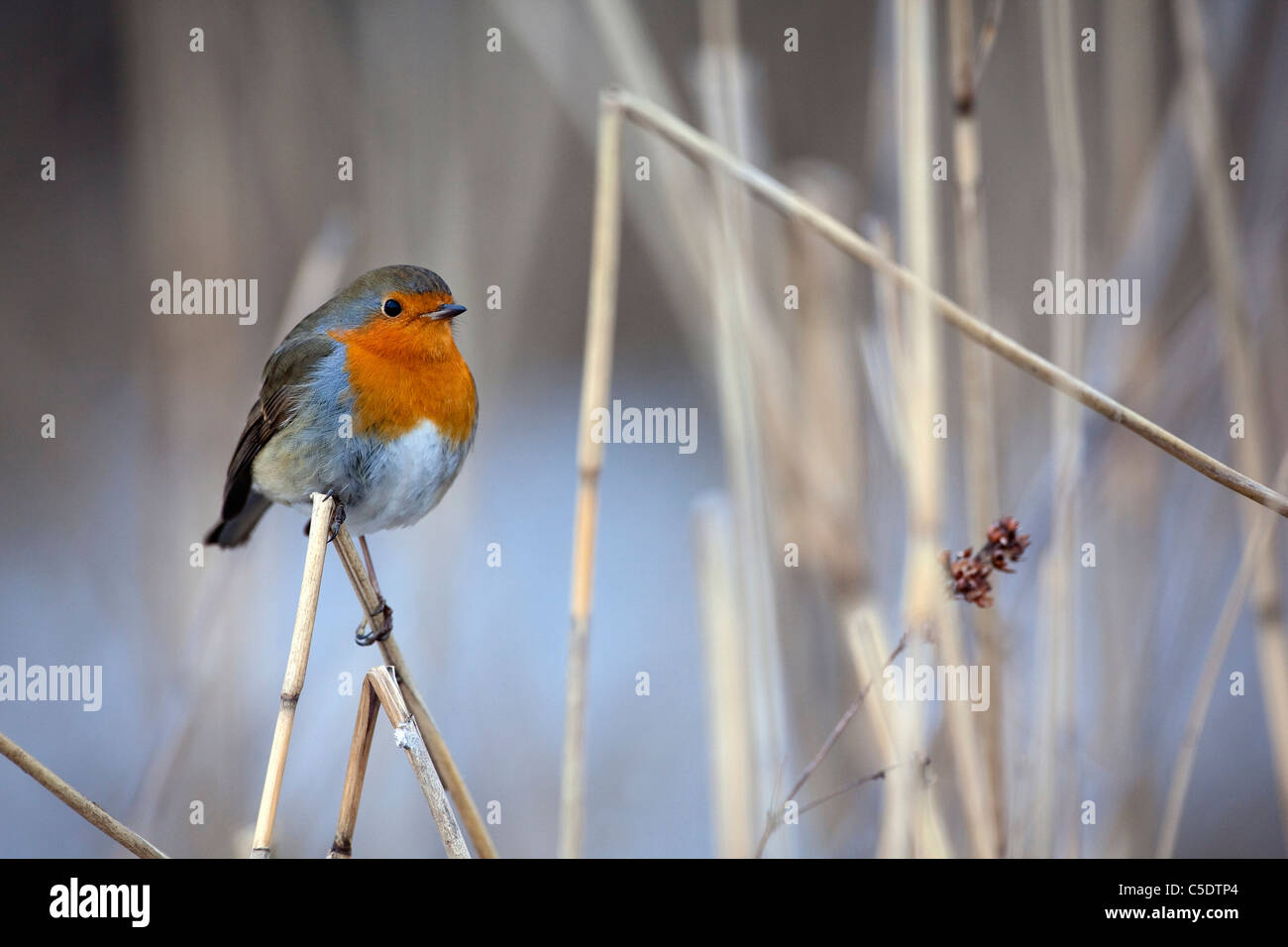 Close-up of Robin bird on reeds against blurred background - Stock Image