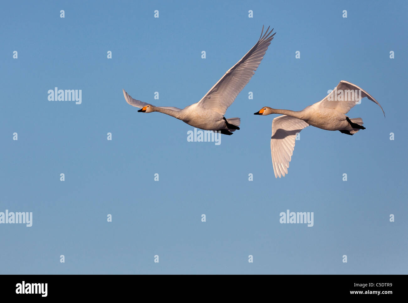 Low angle view of two flying whooper swans against clear sky Stock Photo