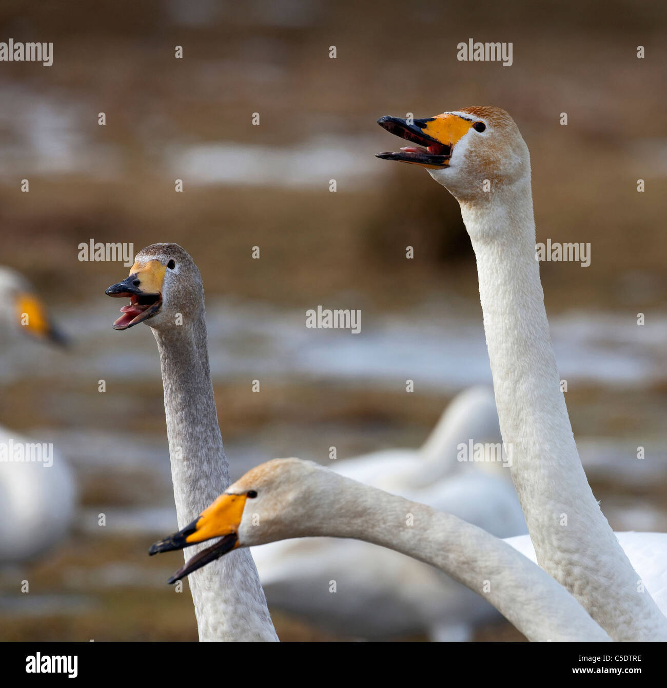Close-up of whooper swans beaks against blurred background - Stock Image