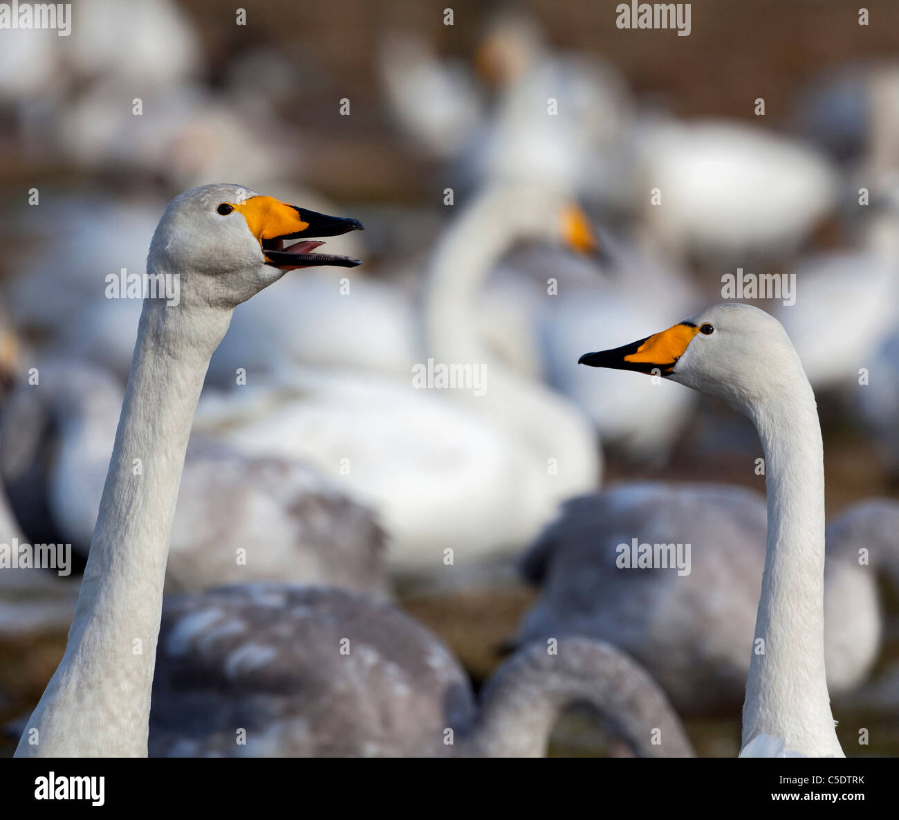 Close-up of two whooper swans beaks against blurred swans - Stock Image