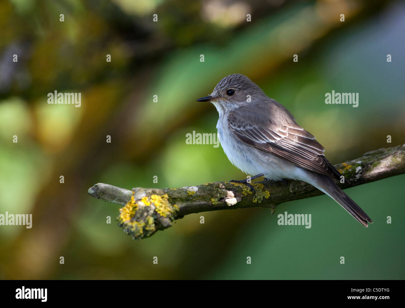 Close-up side view of spotted Flycatcher bird on branch against blurred background Stock Photo