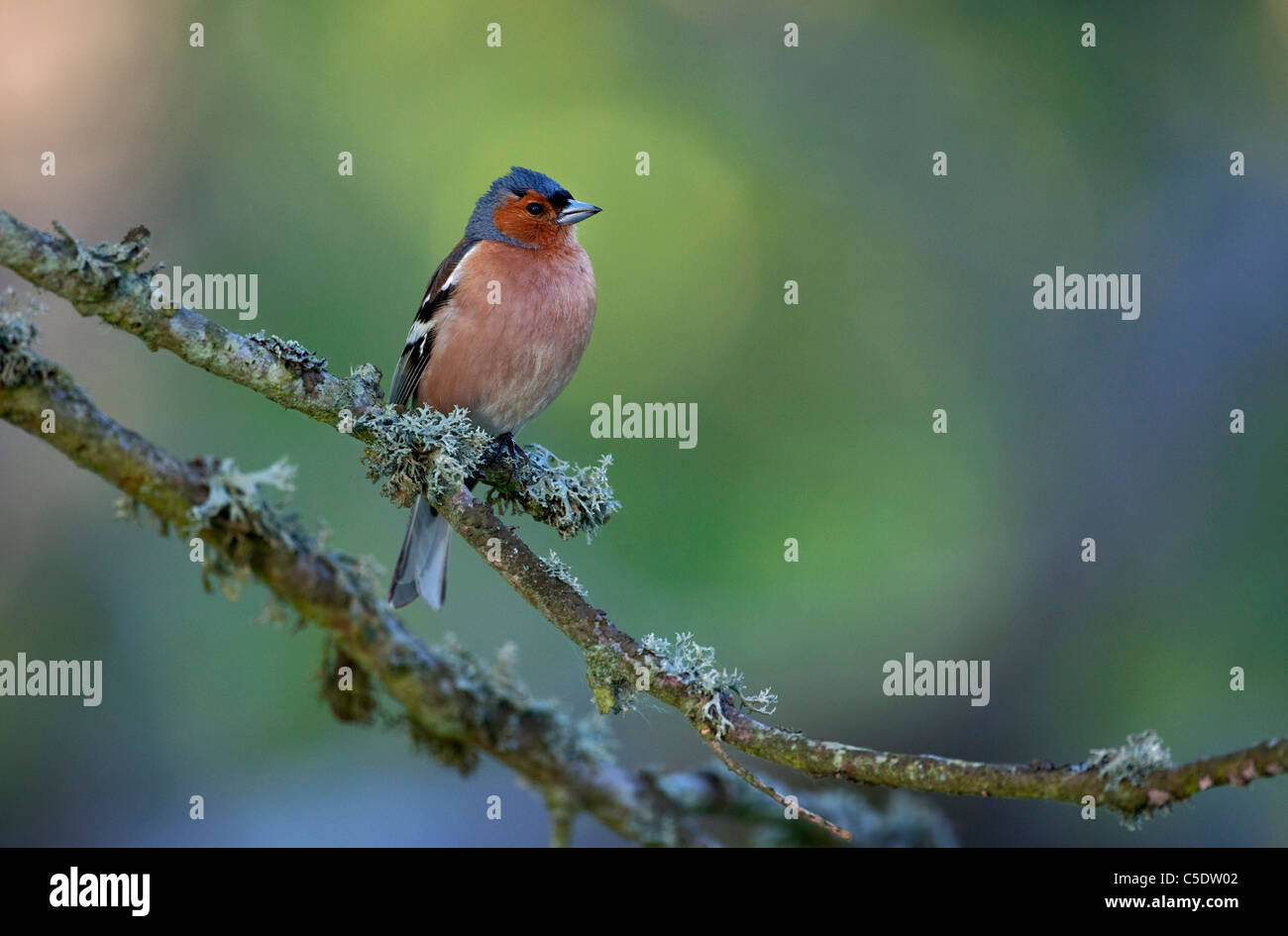 Close-up of Chaffinch bird on branch against blurred background - Stock Image