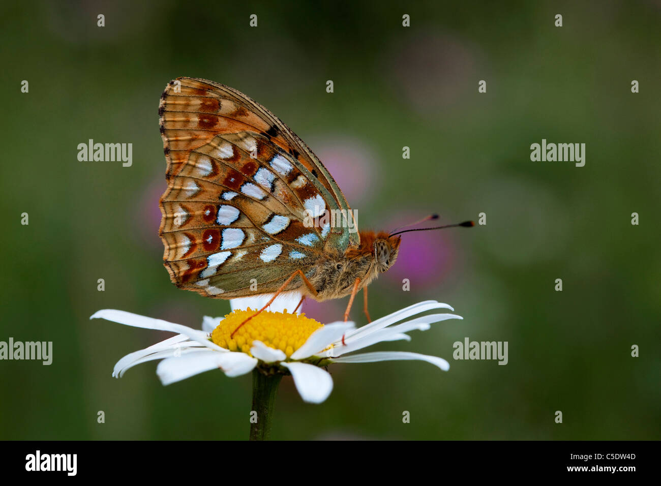 Close-up side view of Forest Fritillary butterfly on flower against blurred background - Stock Image