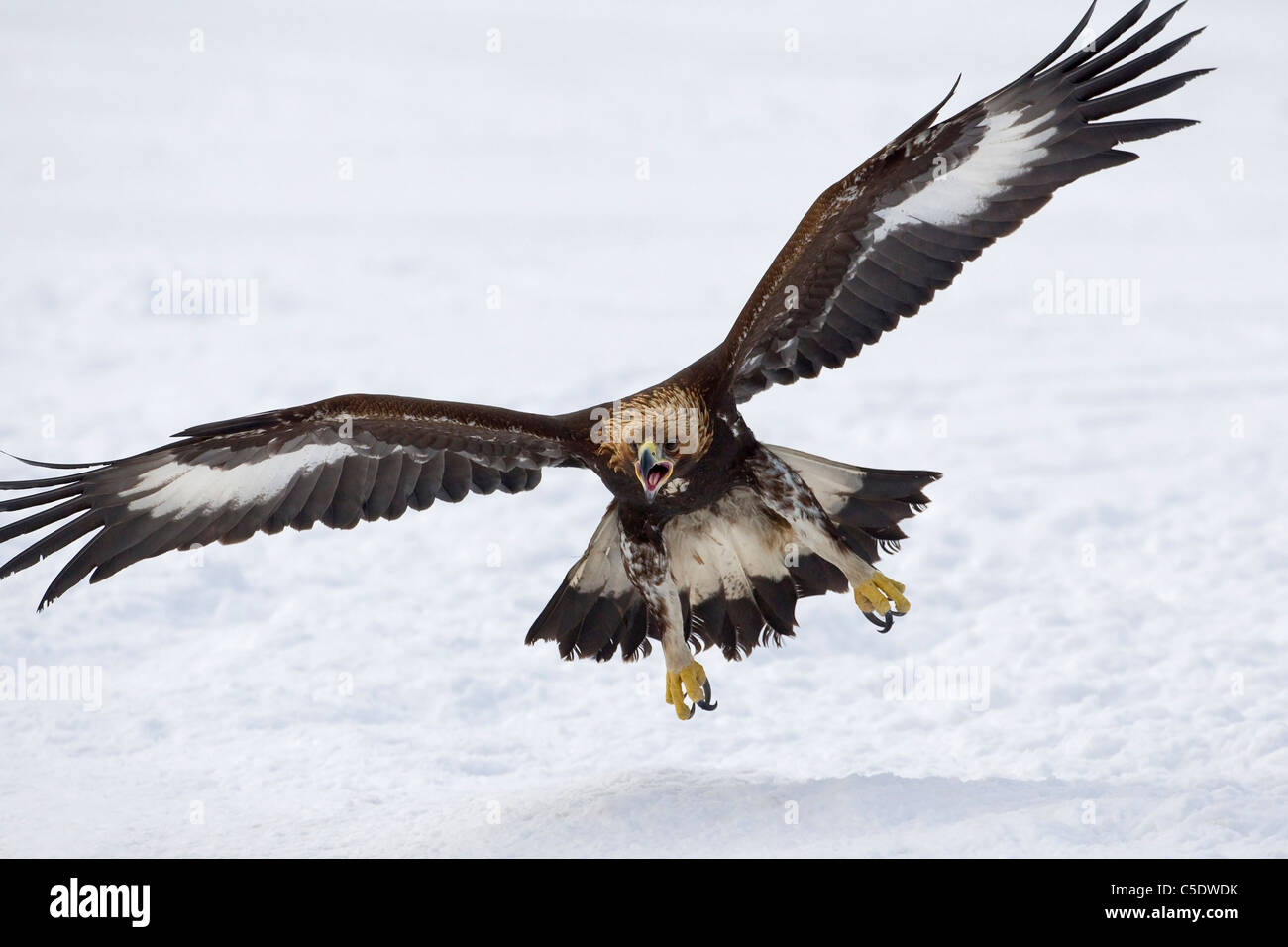 Close-up of a golden eagle with spread wings in flight over snowed  landscape -