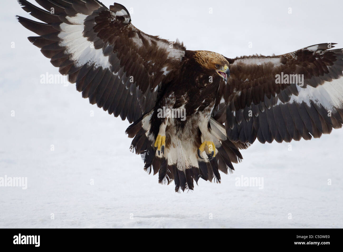 Extreme close-up of a golden eagle with spread wings in flight over snowed landscape - Stock Image