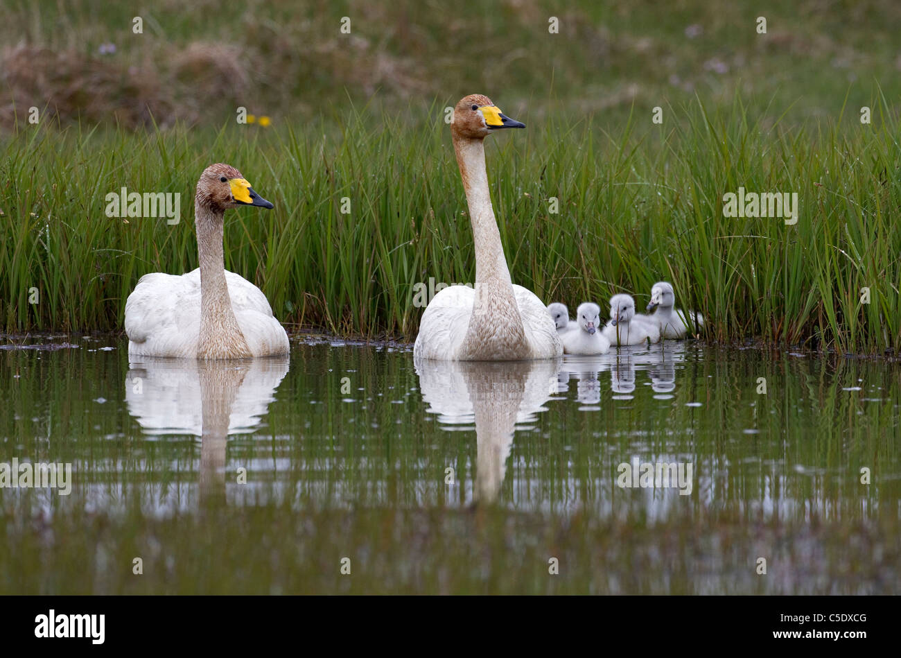 Two whooper swans with newborn cubs in water against long grass Stock Photo