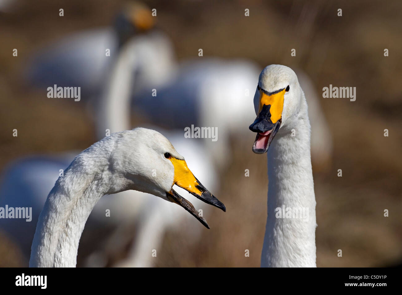 Close-up of two whooper swans in conversations against blurred once - Stock Image