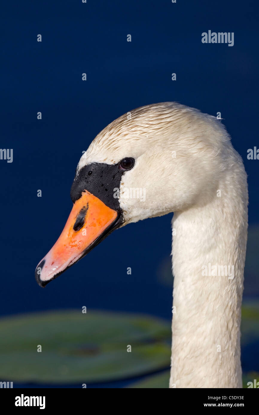 Extreme close-up side shot of a mute swan against blue water - Stock Image