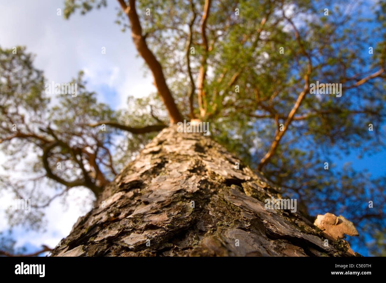 Low angle view of a pine tree - Stock Image