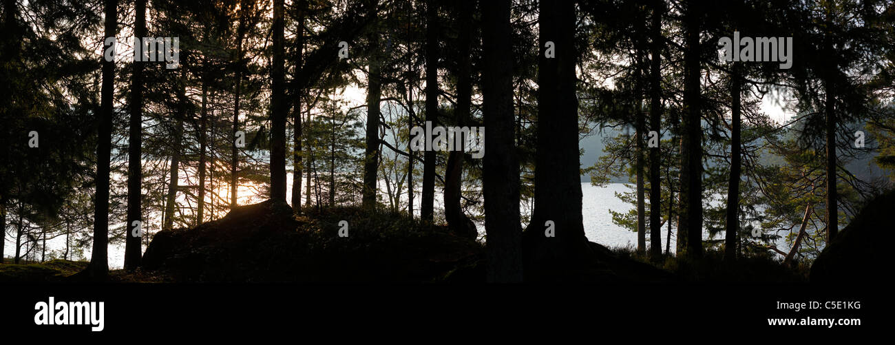 Panoramic shot of silhouette trees in the forest - Stock Image
