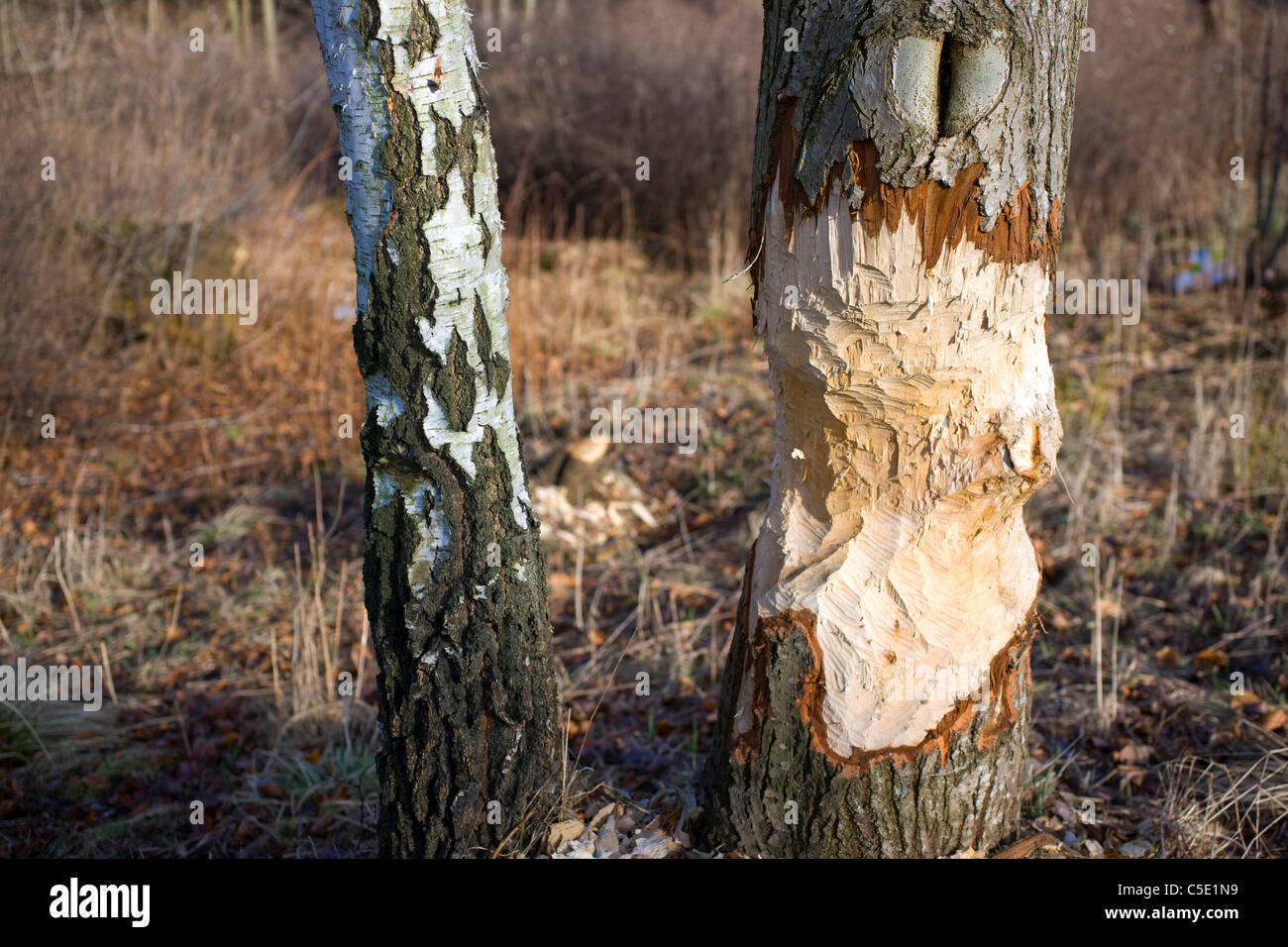 Close-up of damaged birch tree trunks - Stock Image