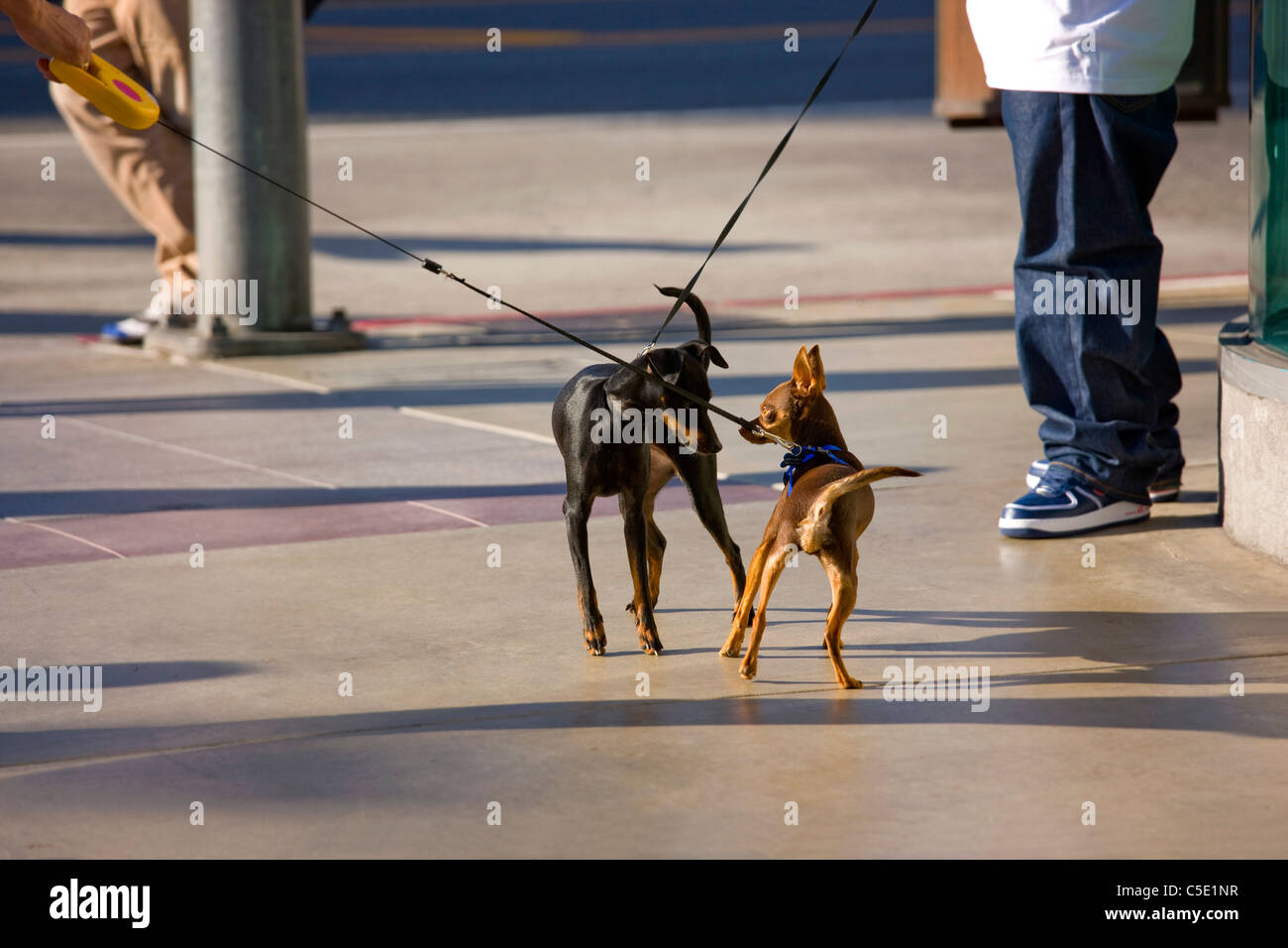 Two leashed dogs meet on the road - Stock Image