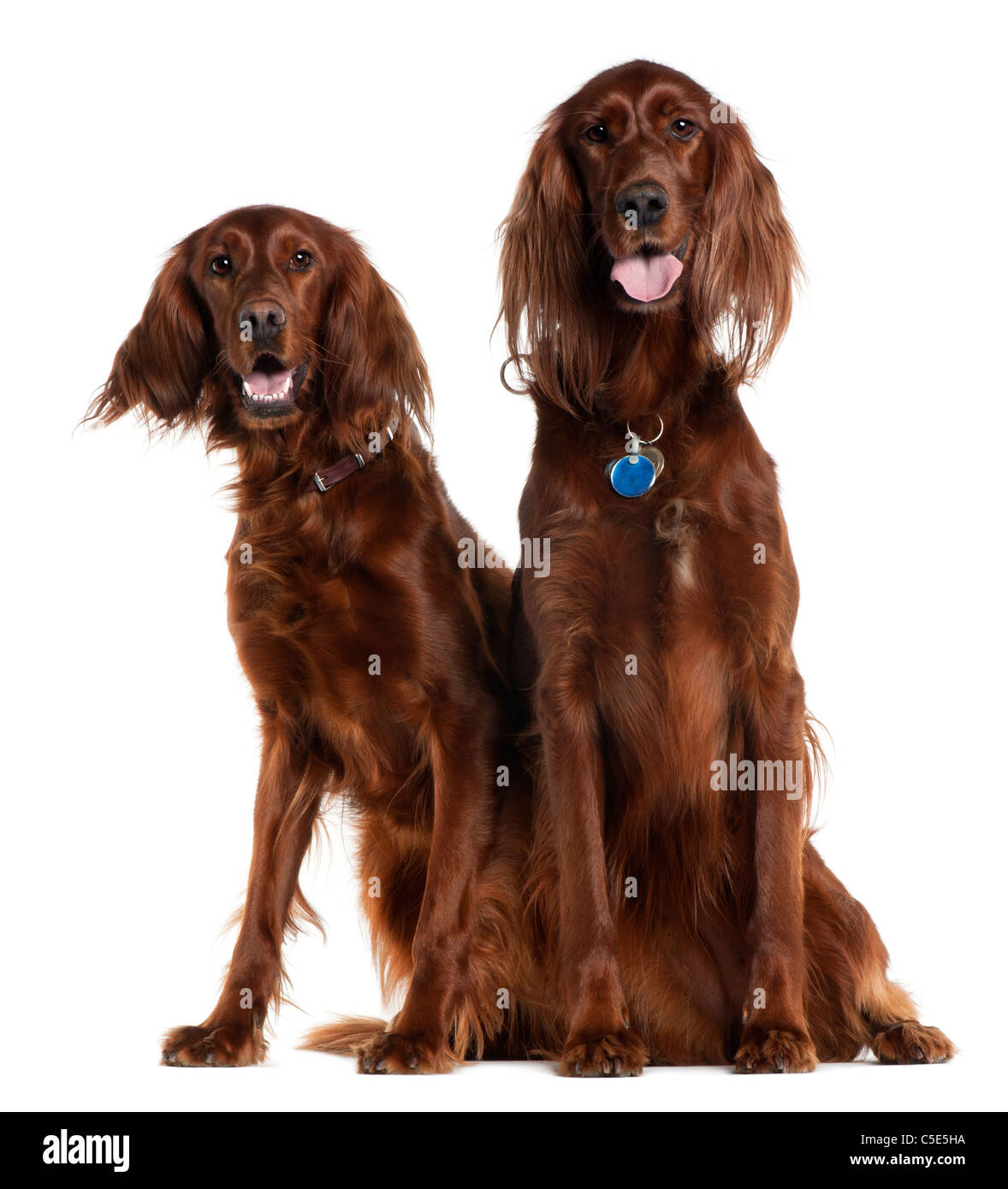 Two Irish Setters sitting in front of white background - Stock Image
