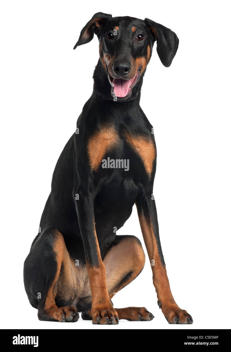 Doberman Pinscher, 8 and a half months old, sitting in front of white background - Stock Image