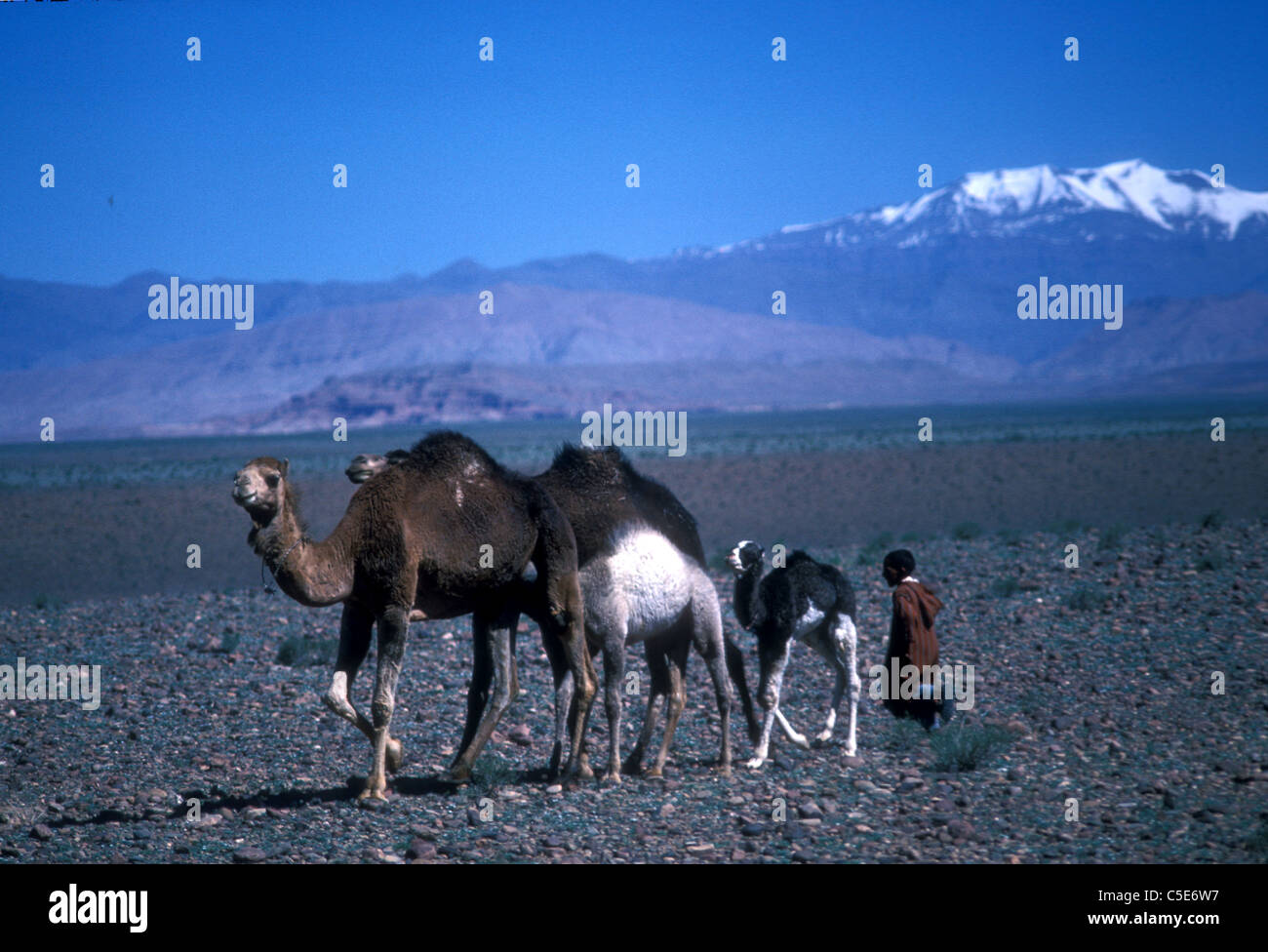 Berber boy and camels, landscape with pebble plain, and the Atlas, Morocco - Stock Image