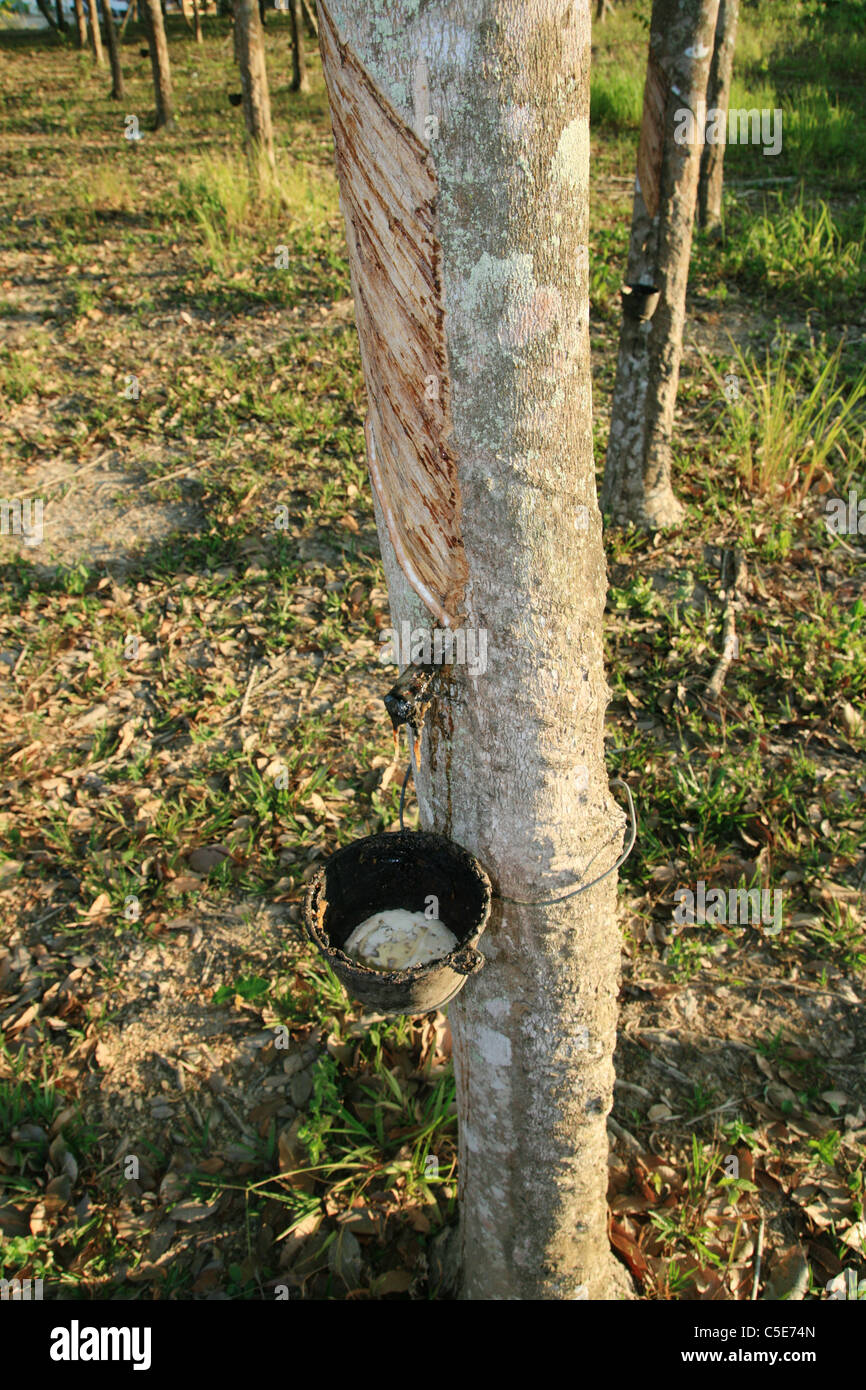 a rubber tree with latex sap being collected in a cup - Stock Image