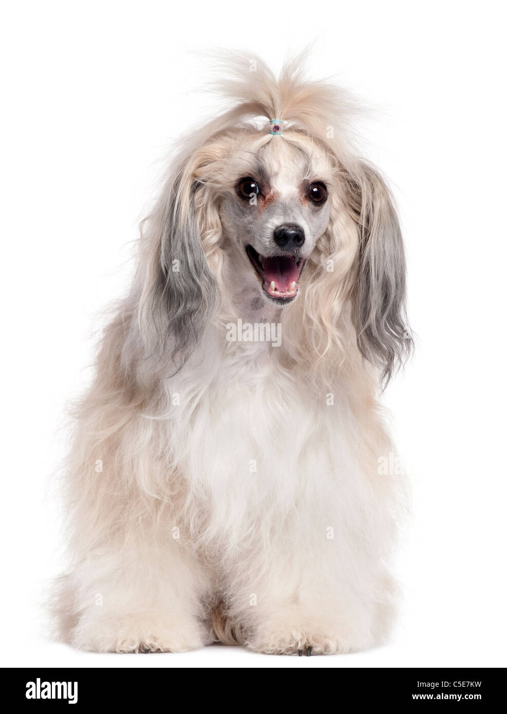 Chinese Crested Dog, 3 years old, in front of white background - Stock Image