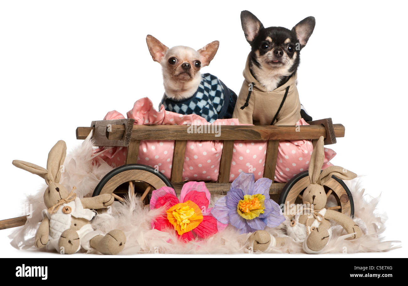 Chihuahuas sitting in dog bed wagon with stuffed animals in front of white background - Stock Image