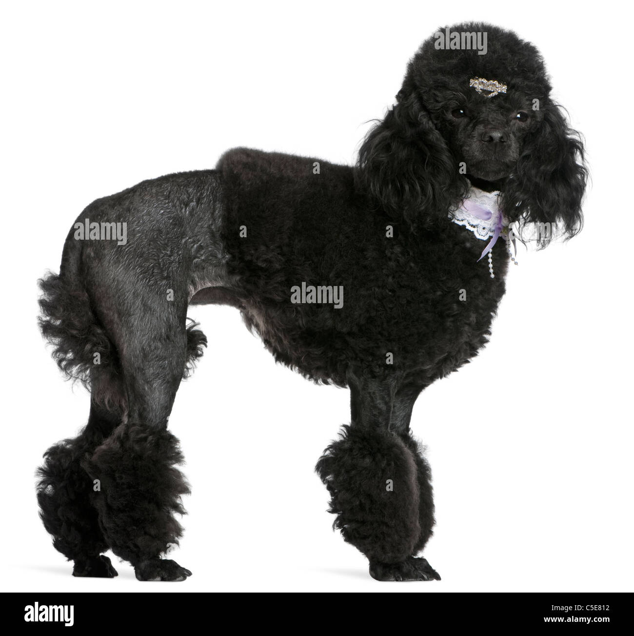 Black groomed Poodle, 2 years old, standing in front of white background - Stock Image